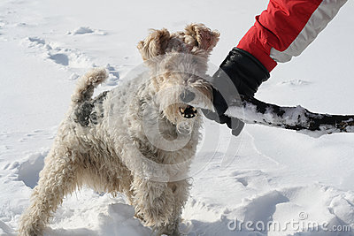 Fox Terrier plays