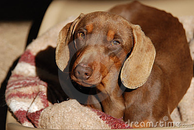 Pleading abandoned Daschund