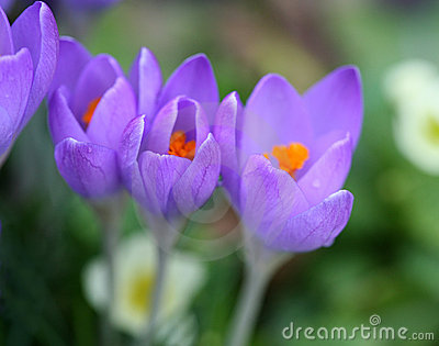 Pleasant spring crocuses
