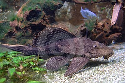 Pterygoplichthys pardalis catfish