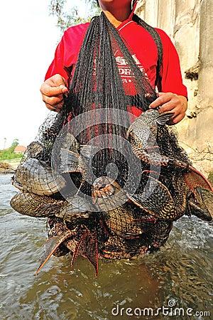 Plecostumus fish (sucker fish) outbreak in river, Thailand.