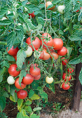 Plentiful fructification of tomatoes