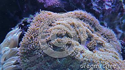 Plerogyra sinuosa porady miękki koral w zbiorniku zdjęcie wideo