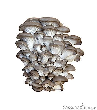 Pleurotus oyster