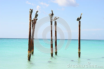 Pélicans se reposant sur les pôles en bois, Aruba, des Caraïbes