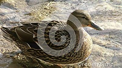 Plitvice湖全国公园鸭子2 股票视频