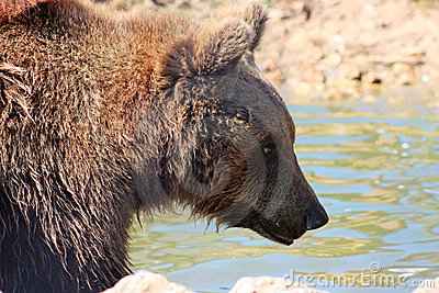 Plitvice brown bear