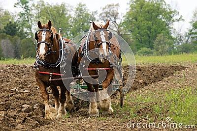 Plow Horses