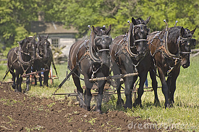 Plow Horses Team Plowing Farm Cornfield