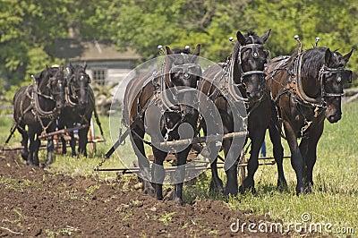 Plow Horses Team Plowing Farm Cornfield Stock Photo