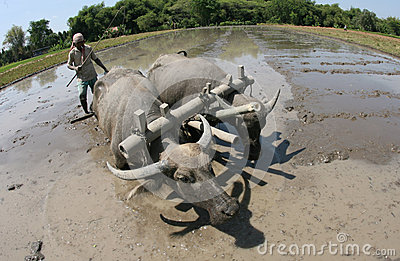 Plowing with buffalo Editorial Stock Photo