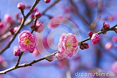 Plum blossom pink flower