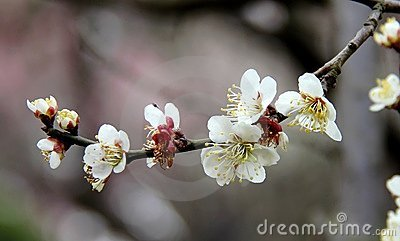 The plum blossom in spring