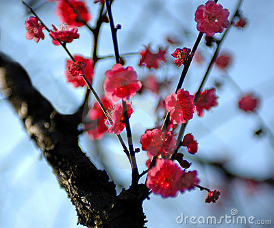 Plum is blossoming -1