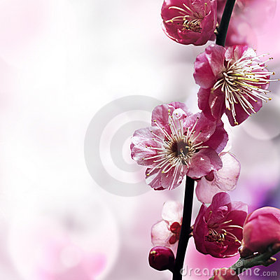 Free Plum Flower Stock Photo - 18240150