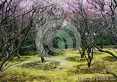 Plum forest
