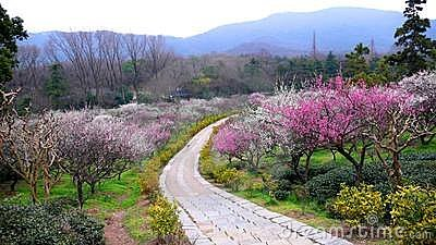 Plum mountain in Nanjing of China