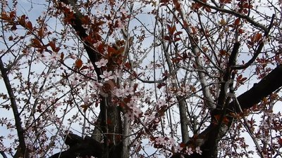 Plum plant in bloom. In a windy day stock video footage