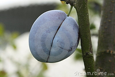 Plum on a tree