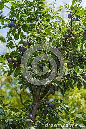 Free Plum Tree Royalty Free Stock Photography - 97440837