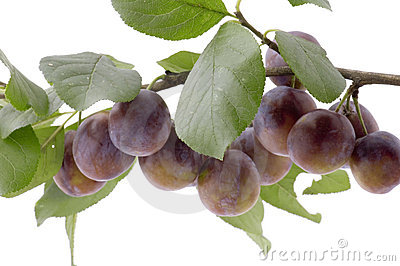 Plum tree close up