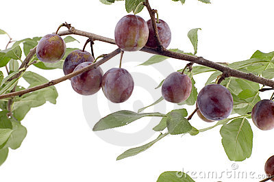 Plum tree closeup