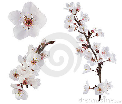 Plum-tree flowers.