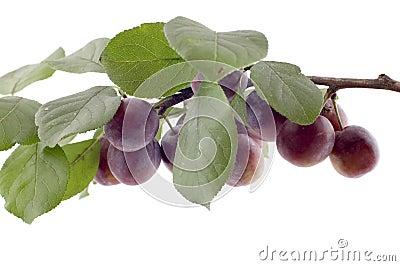 Plum tree macro