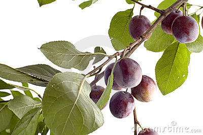 Plum tree on white