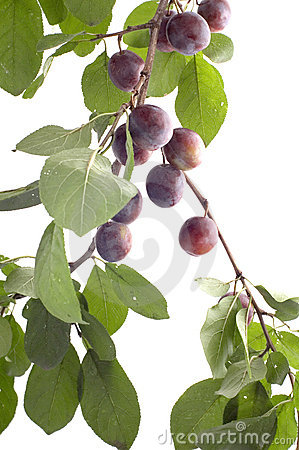 Plum-tree on white