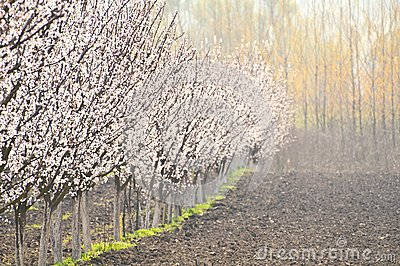 Plum trees row