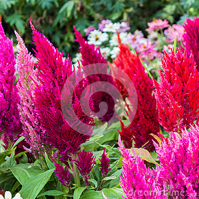 Free Plumed Celusia, Wool Flower, Celosia Cristata,Amaranthaceae On T Royalty Free Stock Photo - 48272525