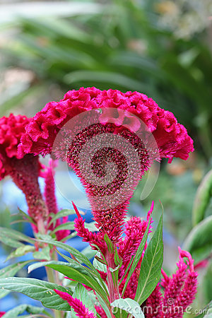 Plumed cockscomb flower, closeup