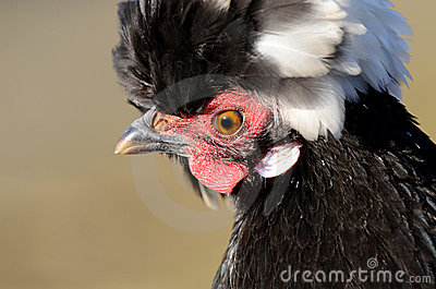 Plumed Poultry