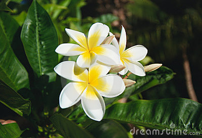 Plumeria Acutifolia Flowers