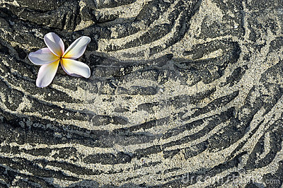 Plumeria flower on sandy lava rock