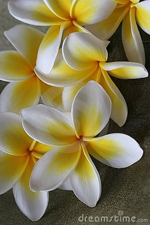 Free Plumeria Flowers Stock Images - 1624384
