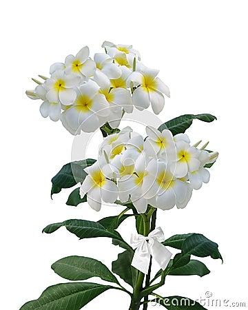 Plumeria Frangipani flowers isolated