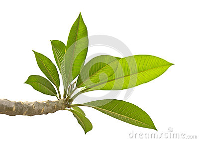 Plumeria leaves isolated