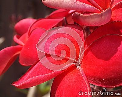 Plumeria red