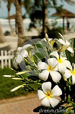 Plumeria on tropical beach