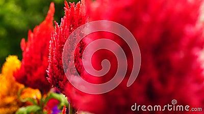 Plumosa argentea Celosia φιλμ μικρού μήκους