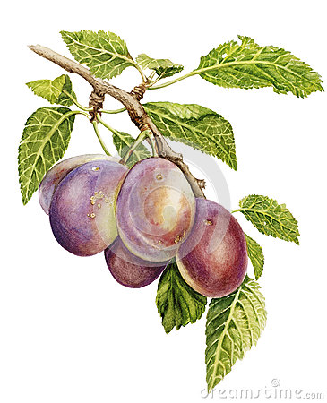 Free Plums Royalty Free Stock Image - 27452276