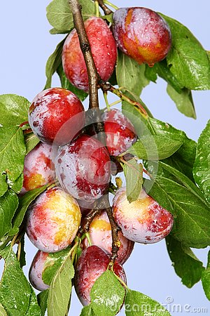 Free Plums Stock Images - 4047284