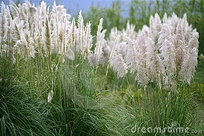 Poaceae wild spike savana flower background