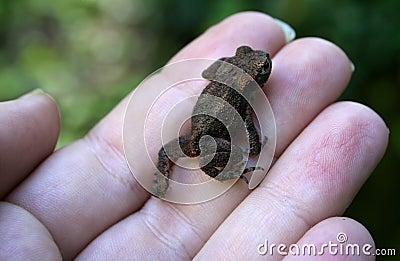 Poco Froggy