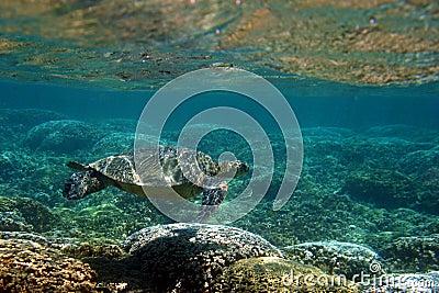 Pod hawajczyka żółwiem powierzchni morza