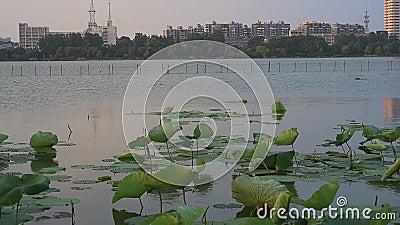 Pod złotym zmierzchem lotos na jeziorze w Xuanwu jeziorze, Nanjing zbiory wideo
