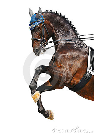 Podpalanego dressage hanoverian koń