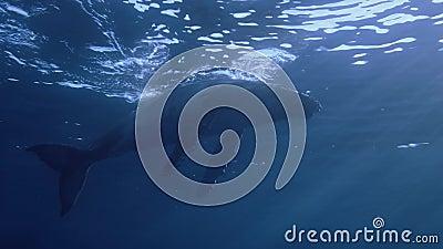 Podwodny widok wieloryba humbowego bardzo blisko kamery zbiory wideo